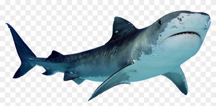 Shark Png Sea Animals Clip Art Pinterest Shark Blue - Shark With White Background Transparent Png #235992