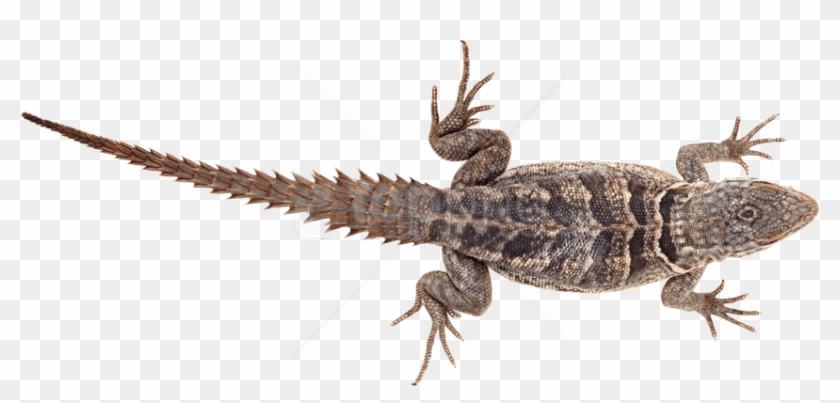 Free Png Lizard Png Pics Png Images Transparent - Armadillo Lizard Png Clipart #2383793