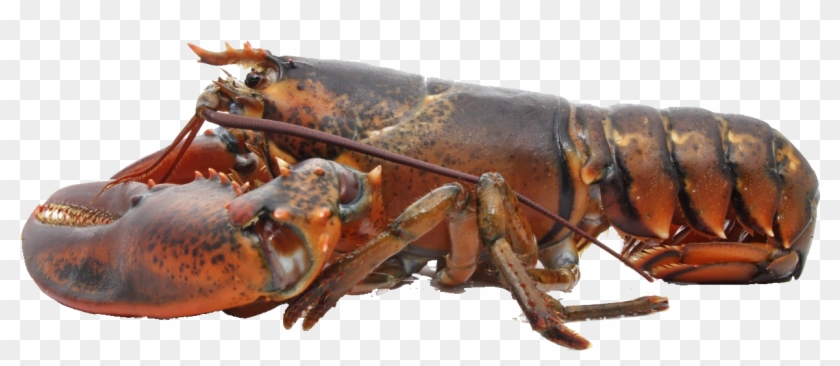 Live Lobster Clipart 2384324 Pikpng