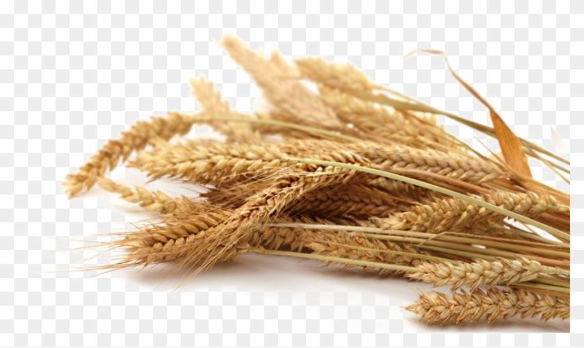 Grain Png Transparent Picture - Whole Grain Wheat Png Clipart #2387857