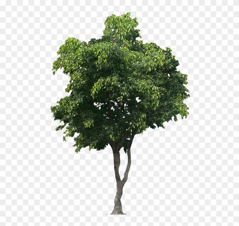 Tree Cut Out, Bamboo Tree, Trees To Plant, Shrubs, - Tree Png For Architect Clipart #2405344