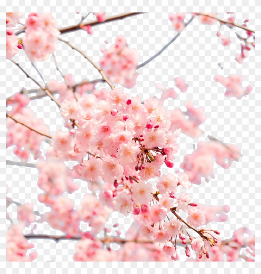 Japan Cherry Blossom Png Clipart #2453039