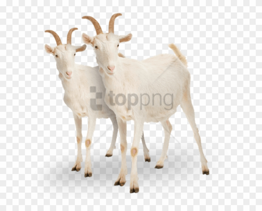 Free Png Goat Png Png Image With Transparent Background - White Goat Clipart@pikpng.com