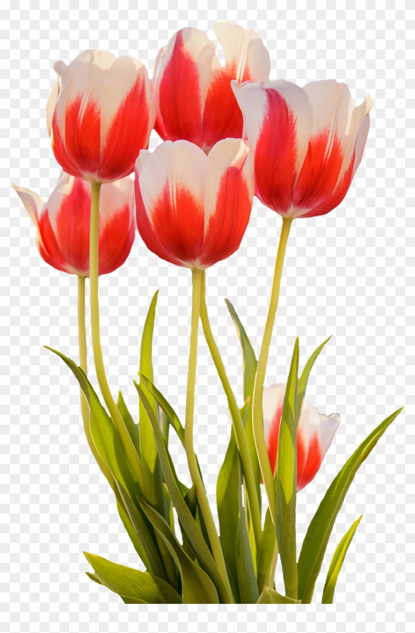 Tulips Red Spring Flower Png Image - Red Spring Flowers Png Clipart #2595219