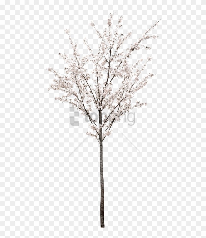 Free Png Spring Tree Png Png Image With Transparent - White Cherry Blossom Tree Png Clipart #2595972