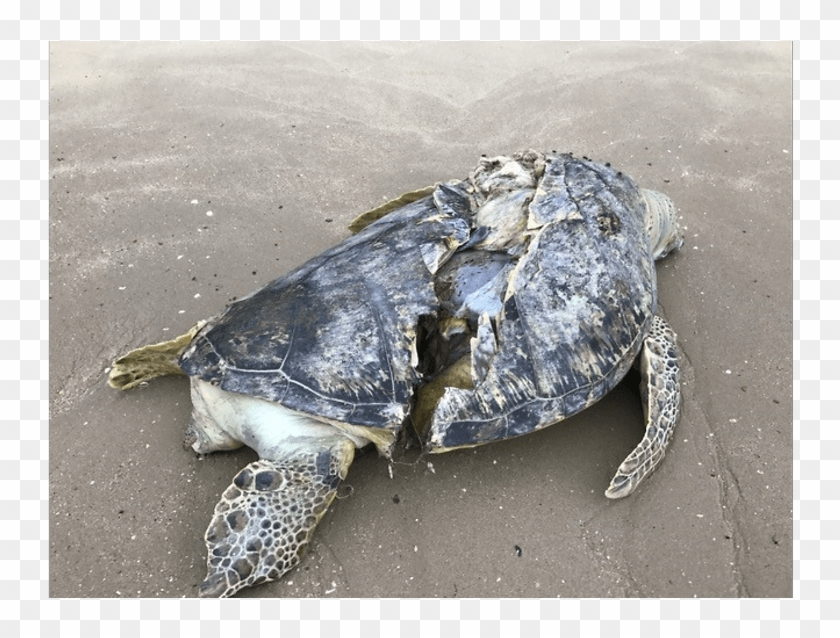 Turtle Without Shell Picture