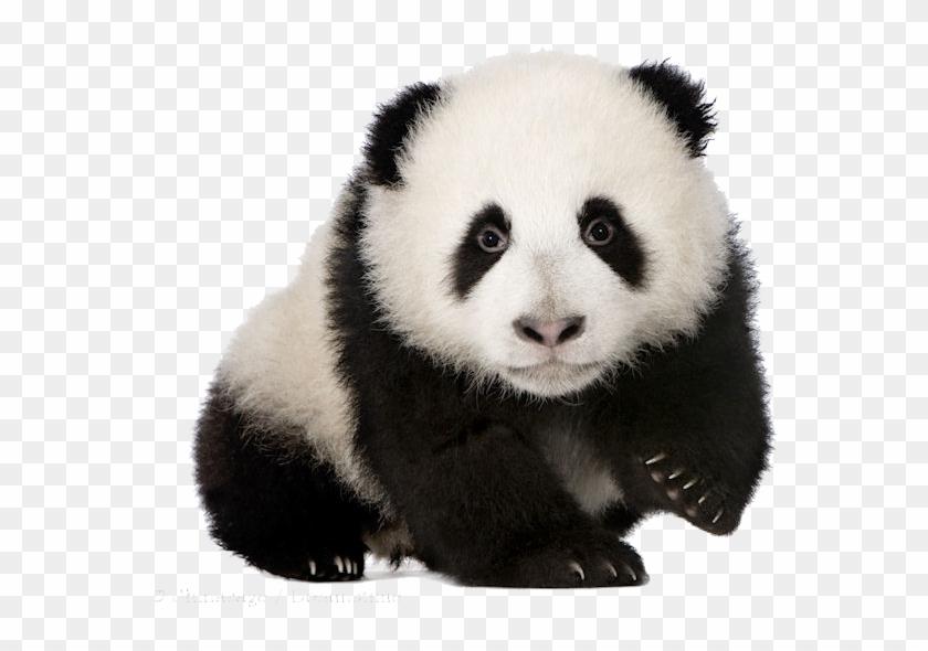 Baby Panda Png Download Image - Panda Cub No Background Clipart #2605174