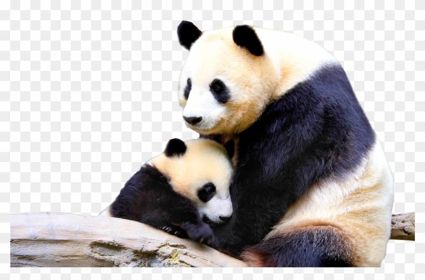 Panda Png - Baby And Mother Panda Clipart #2605380