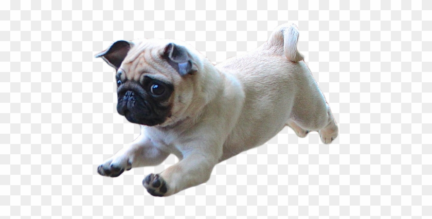 Thug Life Pug Png Photo Png Arts - Dog Running Transparent Background Clipart #2721497