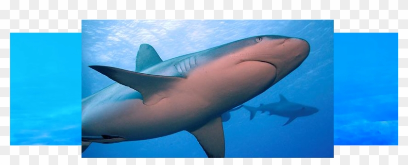 During European Shark Week Over 150 Events Took Place - Great White Shark Clipart #2728853