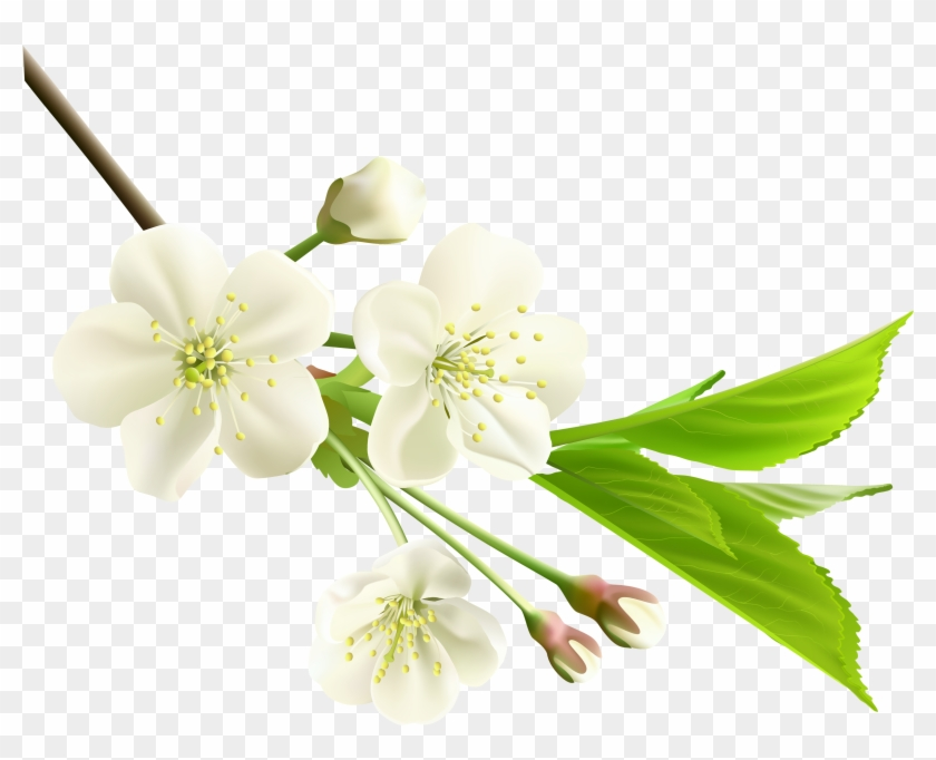 Spring Branch With White Tree Flowers Png Clipart - White Cherry Blossom Png Transparent Png #285699