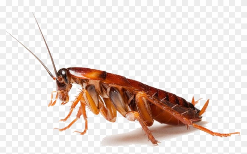 Download Cockroach Png Clipart - Cockroaches In Uae Transparent Png #2918115