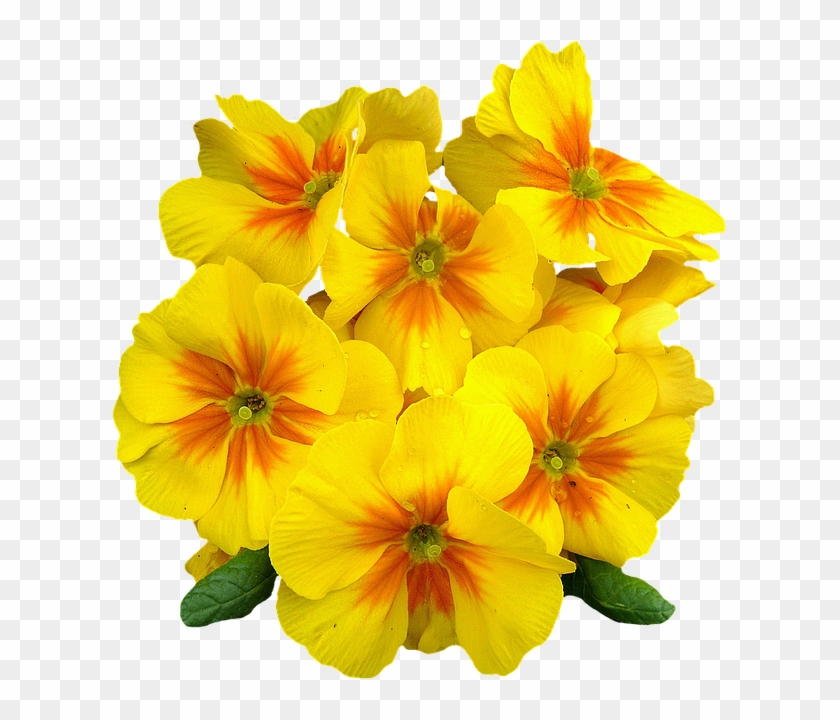 Flower Png Images, Primroses, Spring Flowers, Free - Evening Primrose Png Clipart #305130
