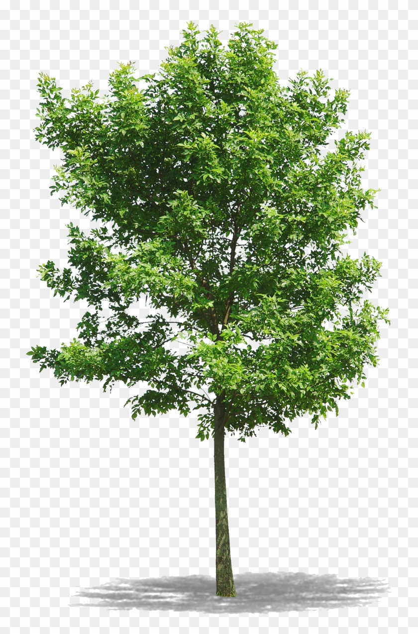 Png Arbres Png Download Clipart 3048833 Pikpng