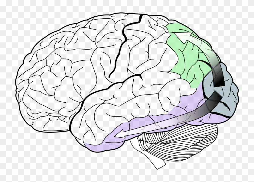 Motion Perception Is The Process Of Inferring The Speed - Lobes Of The Brain Clipart #3090017