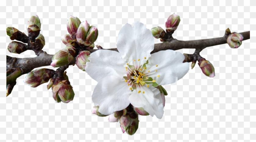 The Almond Blossom Season In Mallorca Santanyi - Almond Blossom Png Clipart #3090801
