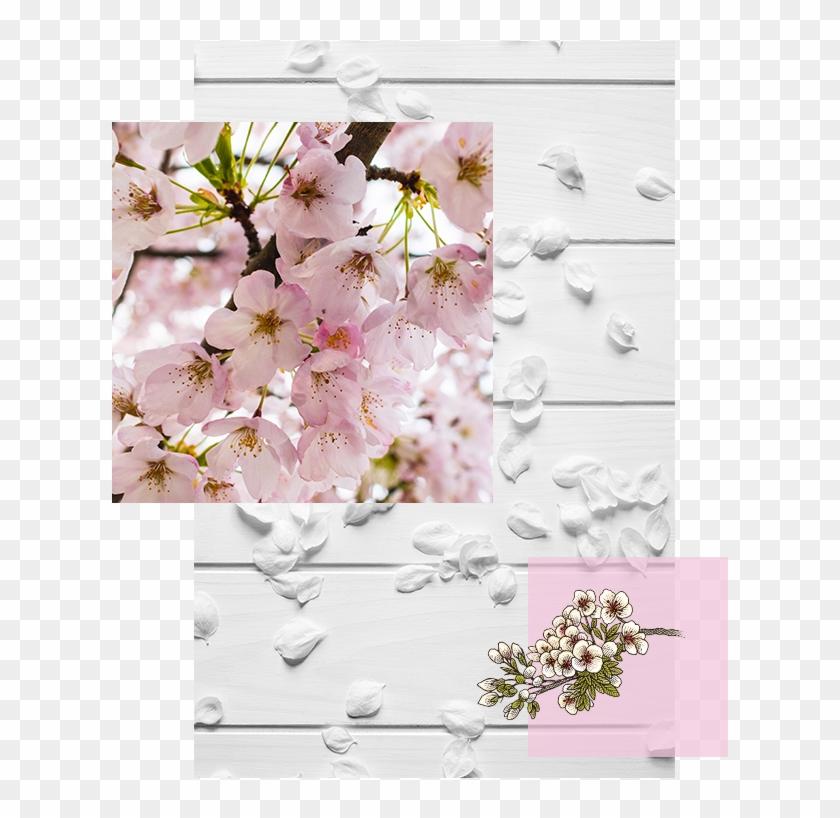 Explore Cherry Blossom - Cherry Blossom Clipart #3092195