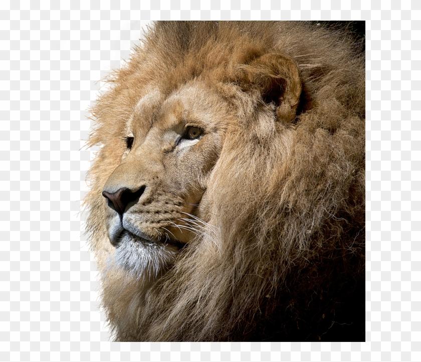 Lion, Isolated, Cut Out, Big Cat, Majestic, Lion Head - Brave Lion Clipart #321071