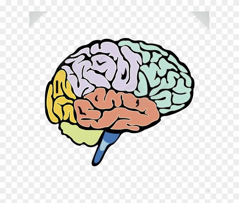 Lightbulb Clipart Human Brain - Brain Split Into Lobes - Png Download #3207794