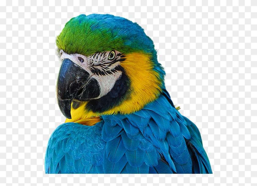 Cotorro, Parrot, Render, Sin Fondo, Azul, Animal, Ave - Blue Cotorro Clipart #3435331