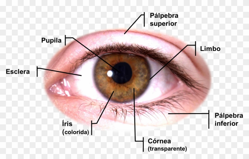 Anatomia Dos Olhos Png Download Full Hd Image Eye Clipart
