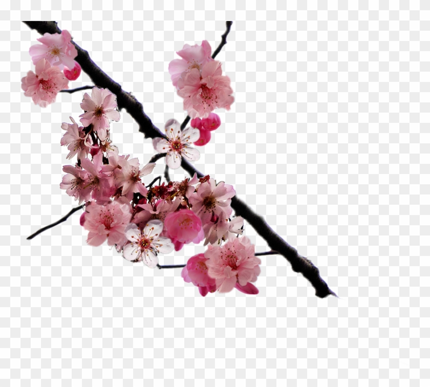 Cherry Blossom Branch Png By - Cherry Blossom Branch Png Clipart #355080