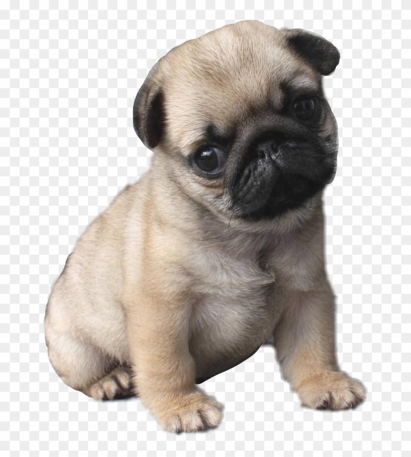 #pug #puglife #pugsofpicsart - Cutest Puppy In The World Clipart #3516164