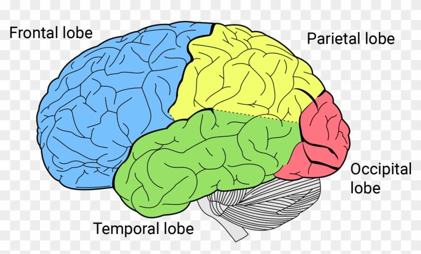 Https - //qbi - Uq - Edu - Au/files/7887/ - Brain Lobes Clipart #3587334