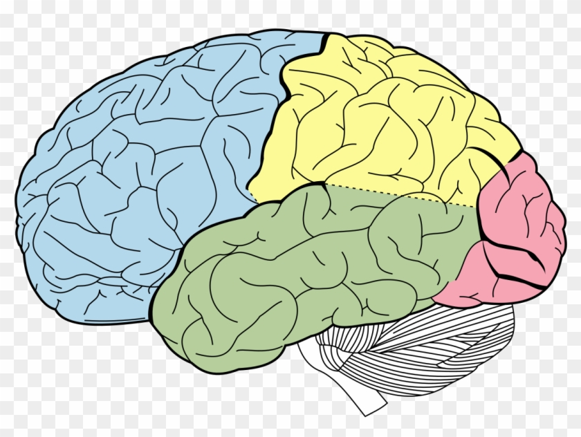 1200 X 857 3 - Lobes Of The Brain Unlabeled Clipart #364715