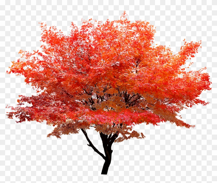 2362 X 1772 8 - Maple Tree Transparent Background Clipart #379375
