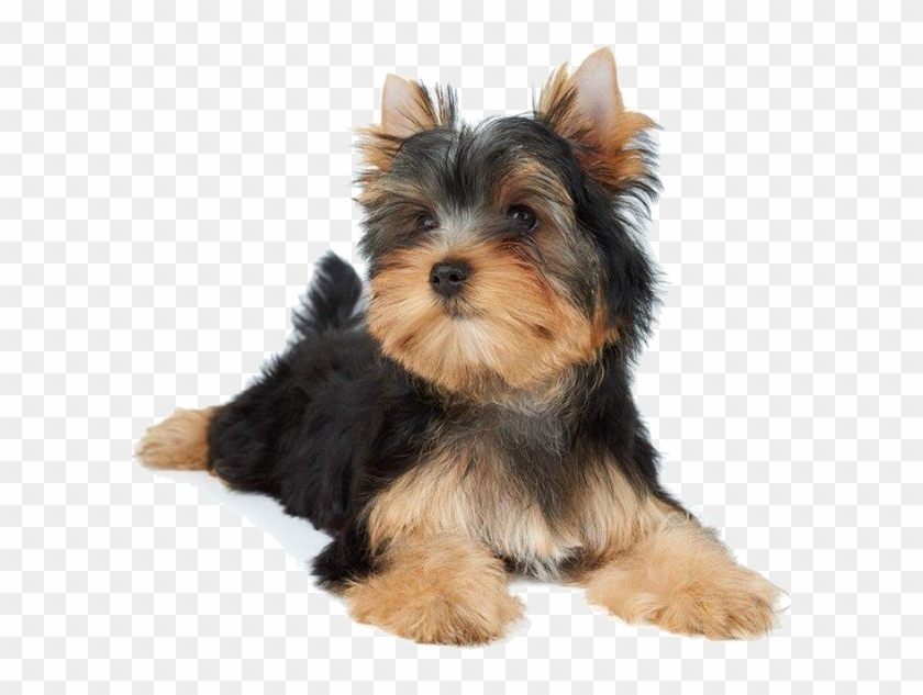 Dogs - Small Dogs Laying Down Clipart #3733333