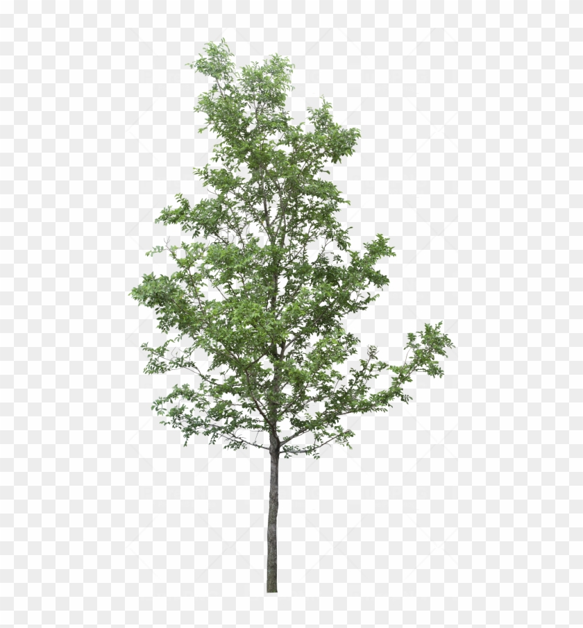 Tree Png Transparent Images - Tree Png For Photoshop Clipart #3747034