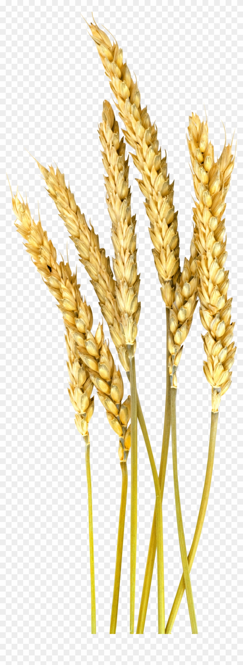 Grain Plant Png - Foxtail Millet Png Clipart #3763782