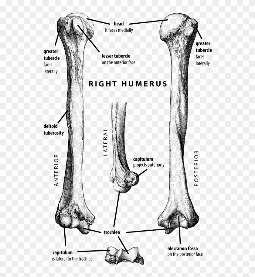 Vector Stock Anatomy Coloring Pages Bones Google Search - Humerus Bone  Labeled Clipart (#3777086) - PikPng