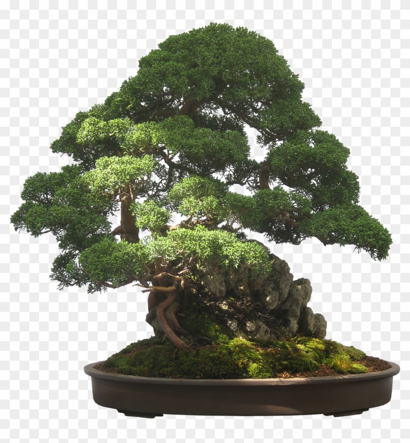 Bonsai Tree Plant Potted Plant Small Tiny Free Pictures Bonsai Tree Transparent Background Clipart 389973 Pikpng