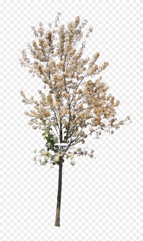 Dombeya Rotundifolia - Tree Photoshop Spring Clipart #3981322