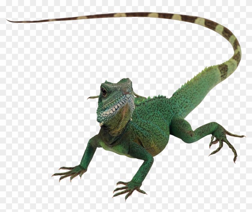 Lizard Png Clipart #41102