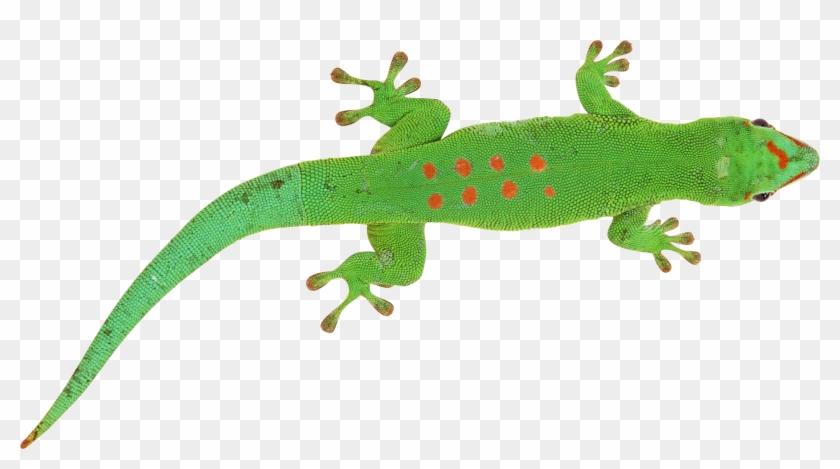 Green Lizard Transparent Background Clipart #41471