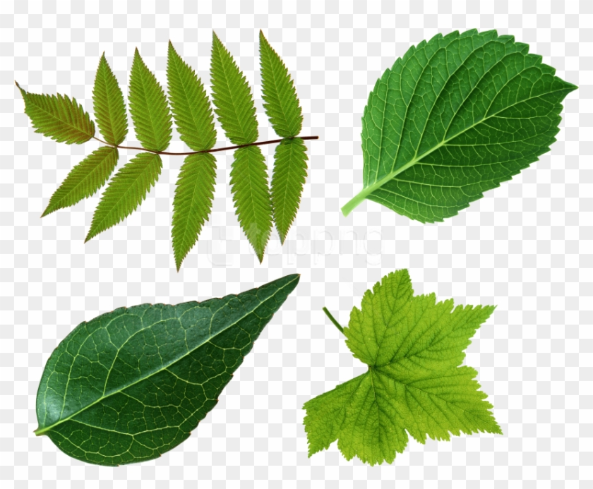 Free Png Download Green Leaves Png Images Background Leaf Png Clipart 4015718 Pikpng ✓ free for commercial use ✓ high quality images. free png download green leaves png