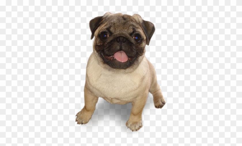 #tumblr #dog #mops - Jb Kingsman Clipart #4114116