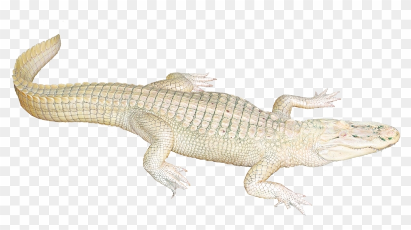 White Crocodile Png Clipart@pikpng.com