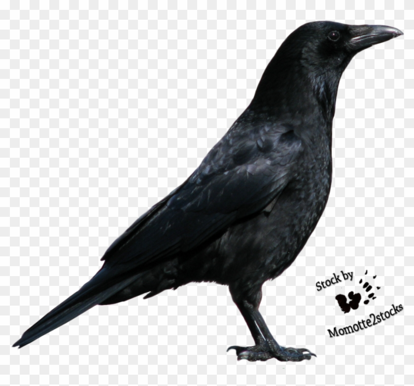 Ap4kt5 Crow Clipart Hd - Russell Crowe As A Crow - Png Download #4520380