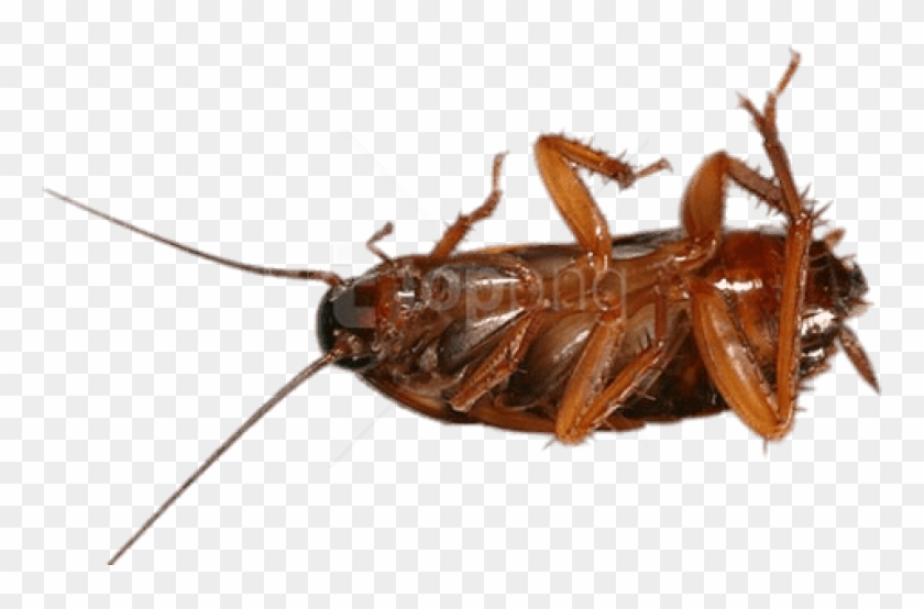 Free Png Download Cockroach On Its Back Png Images - Asian Cockroach Clipart #4564286