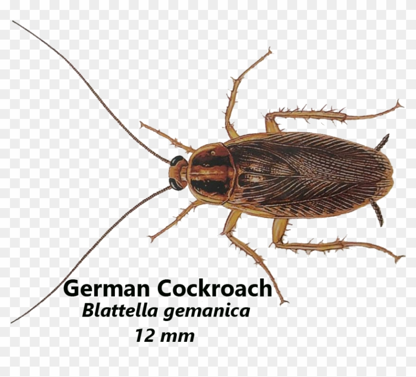 German Cockroaches Live In Warm And Damp Places, Like - Cockroach Clipart #4564373