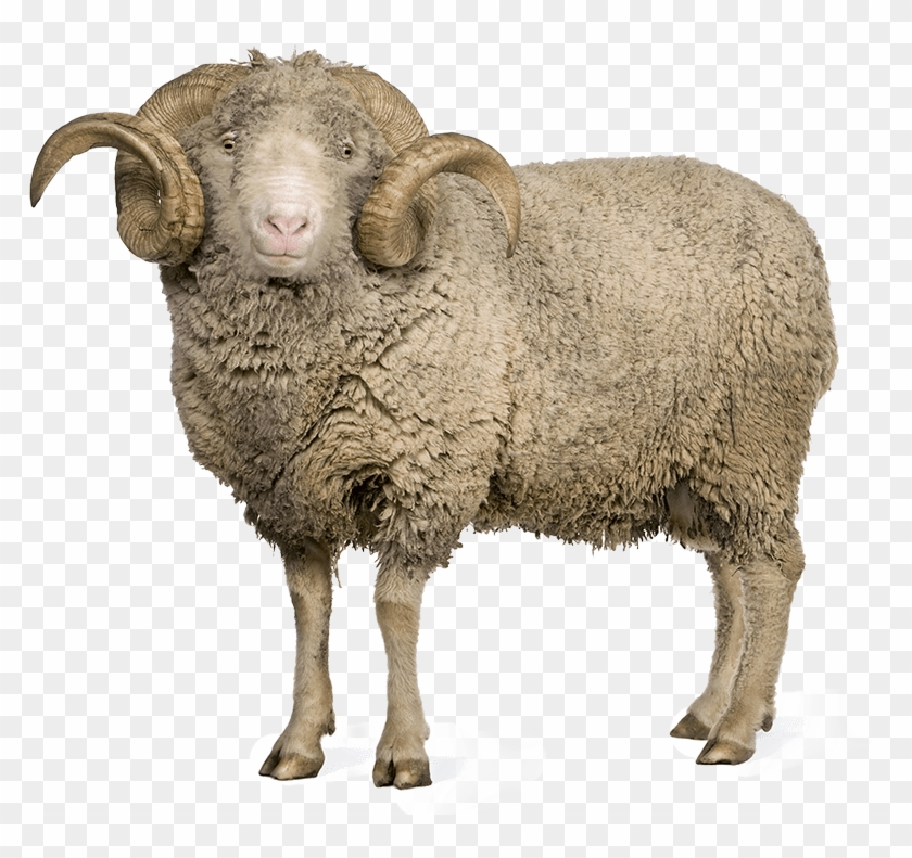 Sheep And Wool Png - Sheeps Png Clipart@pikpng.com