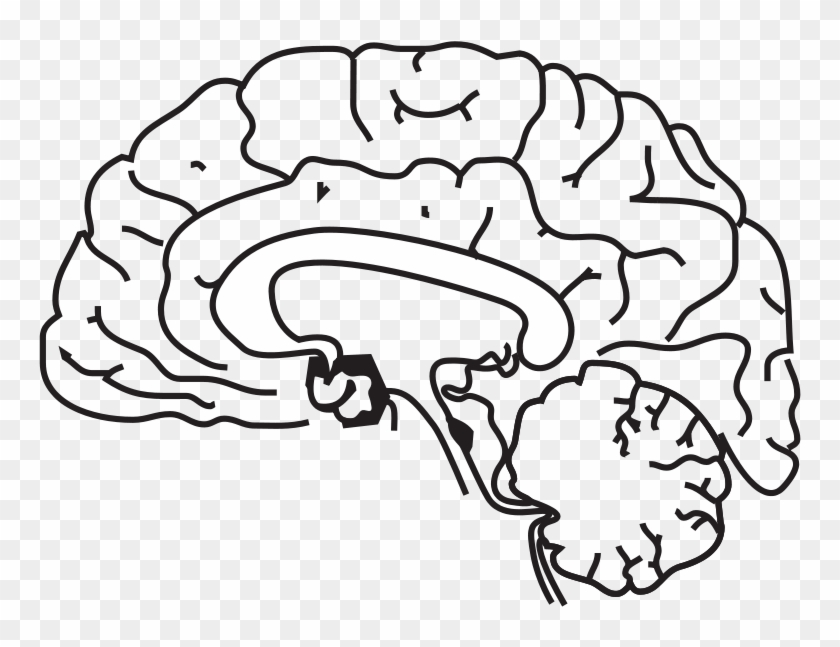 - Brain Anatomy Coloring Page Brain Brain Anatomy - Anatomik Beyin Çizimi  Clipart (#4678428) - PikPng
