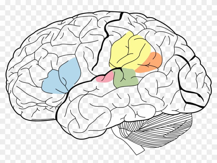 Lobes Of The Brain Clipart #4686377