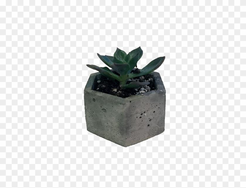 Succulent Large - Niche Plant Png Clipart #489922