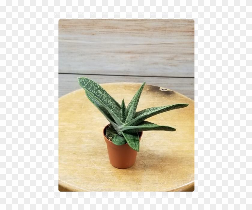 "Mini Succulent 3"" Potted Plant Variety - Flowerpot Clipart #491211"