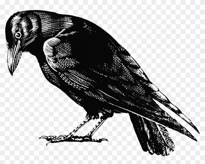 Crow - Crow Drawing Black And White Clipart #504804